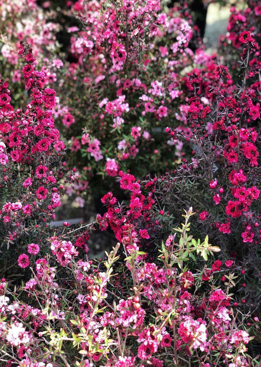 fleurs-abeilles-roses